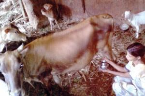 Rita mit neuer Kuh und Kalb im Kuh- und Ziegenstall